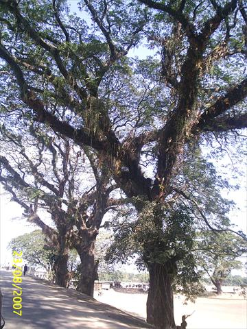 Oldest Tree at Birishiri
